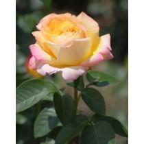 Роза Глория