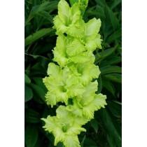 Гладиолус Green Star (Грин Стар)