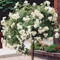 Штамбовая роза Айсберг