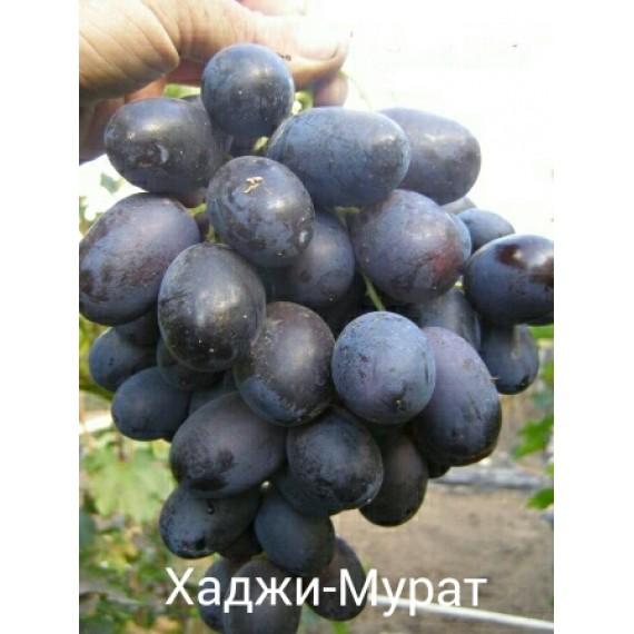Виноград Хаджи-Мурат