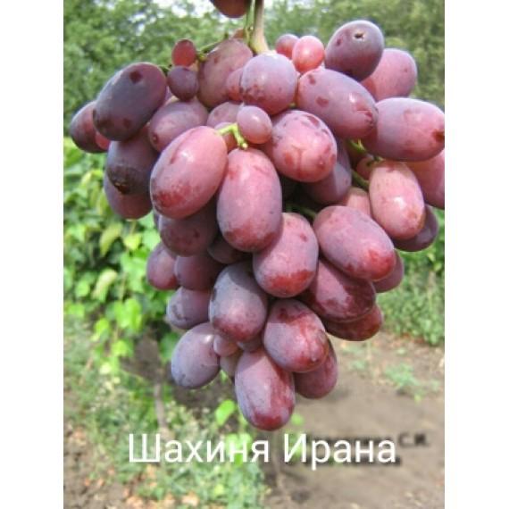 Виноград Шамаханская царица