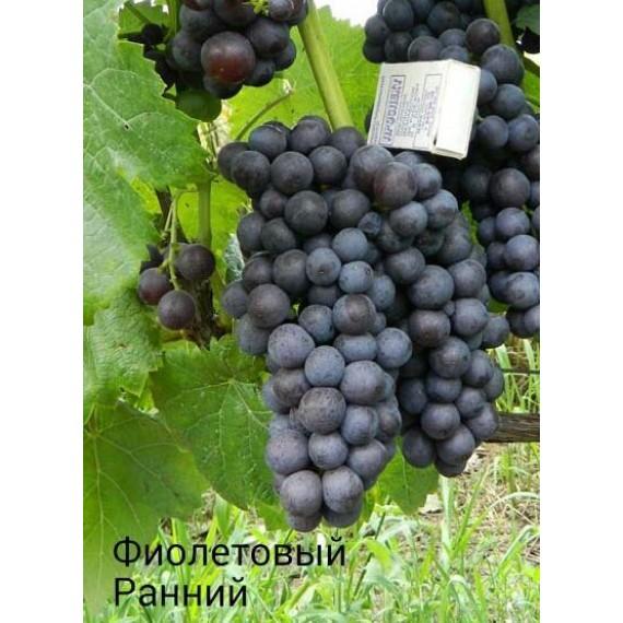 Виноград Фиолетовый