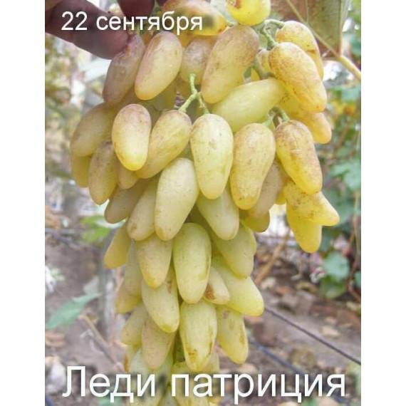 Виноград Леди Патриция