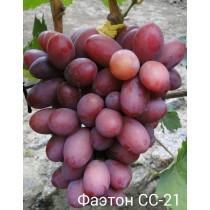 Виноград Фаэтон СС-21