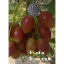 Виноград Румба Красная