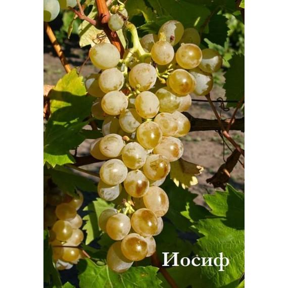 Виноград Иосиф