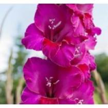 Гладиолус садовый Сobra