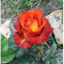 Роза Кофе Брейк