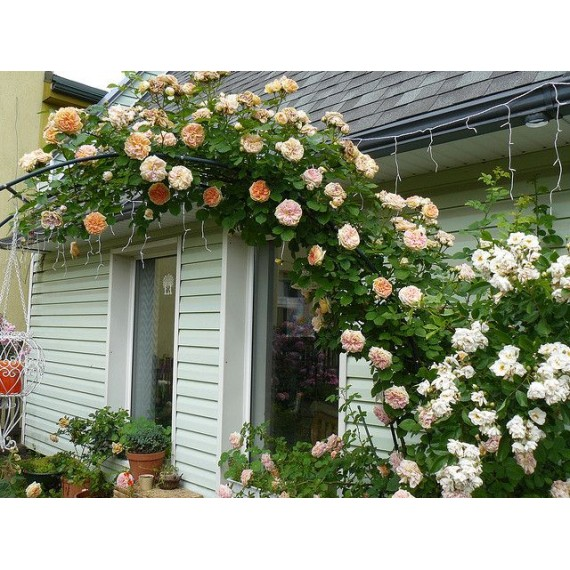 Плетистая роза Крымское солнце