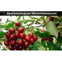 Черешня Крупноплодная Мелитопольская