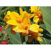 Канна садовая Yellow Humbert