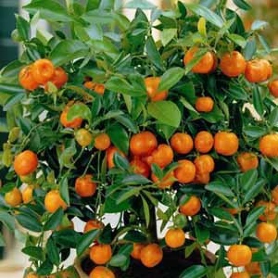 Карликовый мандарин Коване -Васе
