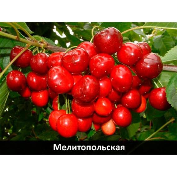 Черешня Мелитопольская Черная