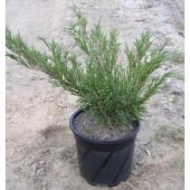 Можжевельник Казацкий Juniperus Sabina 0,5 м