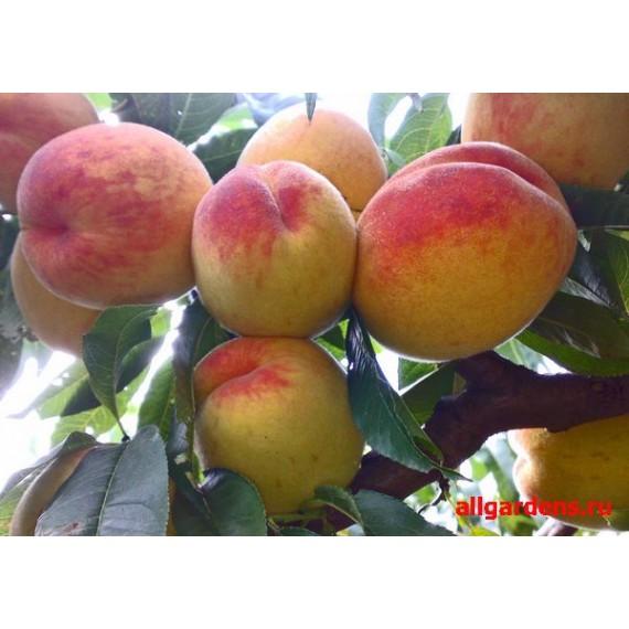 Персик Молдавский желтый