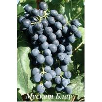 Виноград Мускат Блау