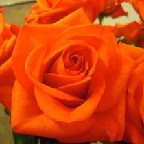 Роза Наранга