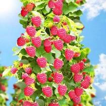 Малиновое дерево Богатырь