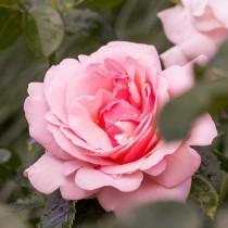 Роза чайно-гибридная Sweet Parole