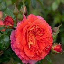 Роза Братья Гримм (Gebruder Grimm)