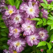 Роза плетистая Вейченблау (Veilchenblau)