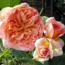 Роза плетистая Папи Делбард