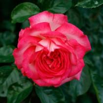 Роза плетистая Антик 89