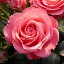 Роза флорибунда Белла роза