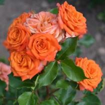 Роза флорибунда Беби