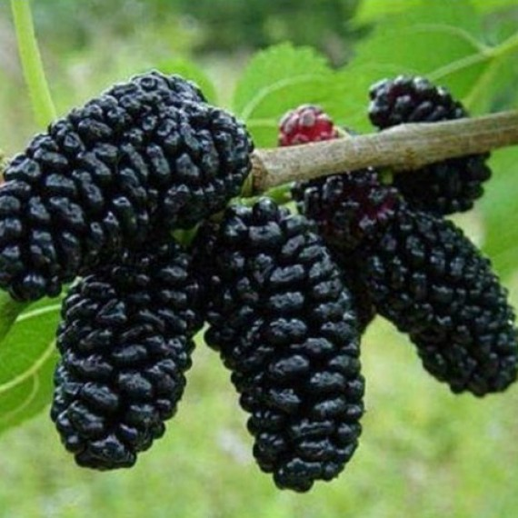 Шелковица Стамбульская чёрная