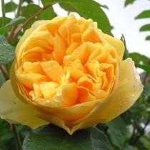 Роза плетистая Голден Гейт (Golden Gate)