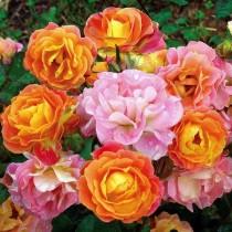 Роза флорибунда Бордюр Камей
