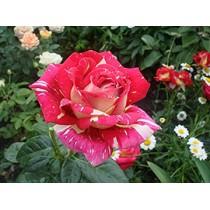 Роза Фантазия