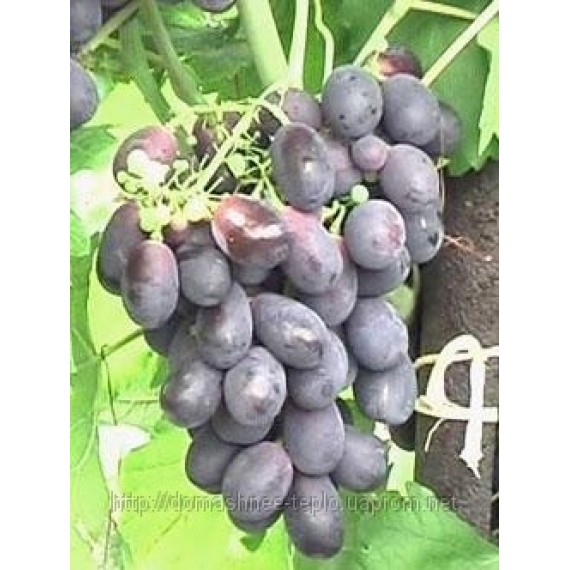 Виноград Решилье