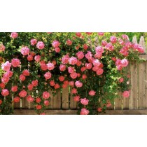 Роза Розовая Жемчужина