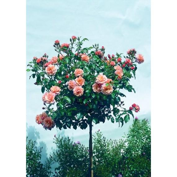 Штамбовая роза Корвет