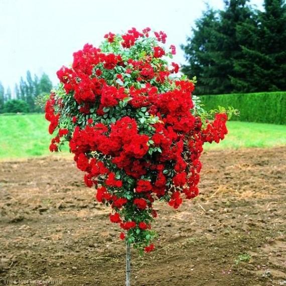 Штамбовая роза Ред каскад