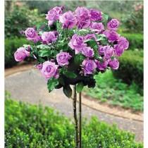 Штамбовая роза Минерва