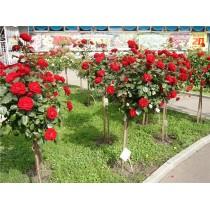 Штамбовая роза Ред Бул
