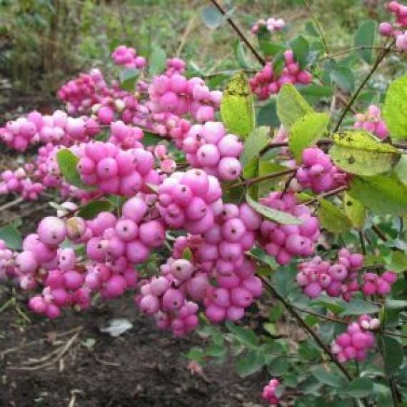 Снежеягодник розовый