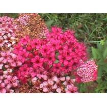 Спирея японская Бумальда (розовая)