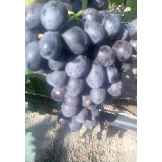 Виноград Цезарь