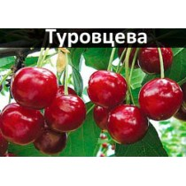 Черешня Туровцева