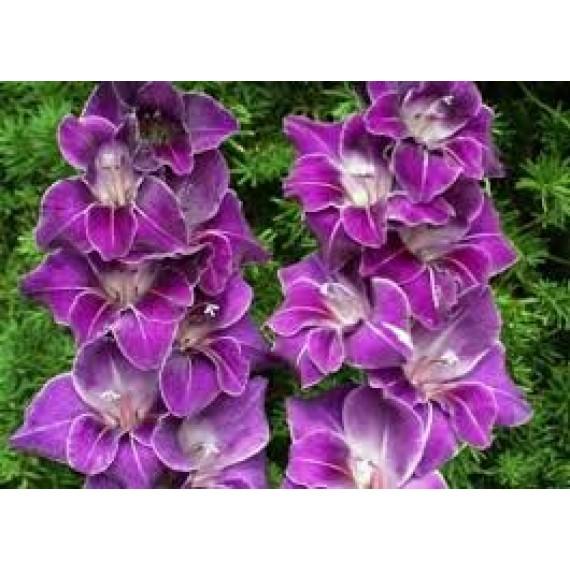 Гладиолус садовый Violetta