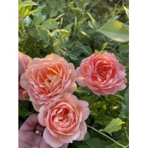 Роза Джубили Селебрейшн (Jubilee Celebration)