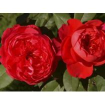 Роза бенджамин бриттен