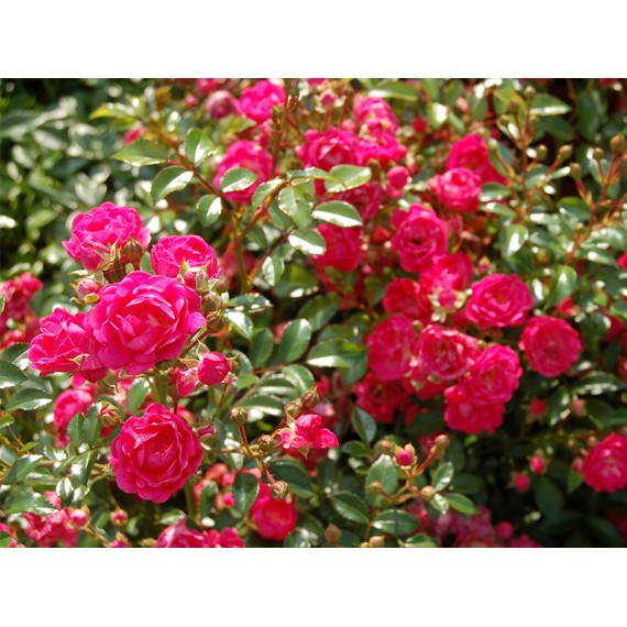 Роза лавли фейри