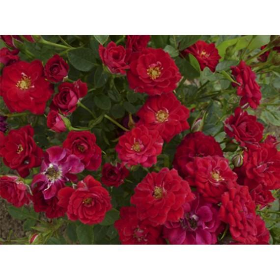 Роза Ред Мин (Red Min)