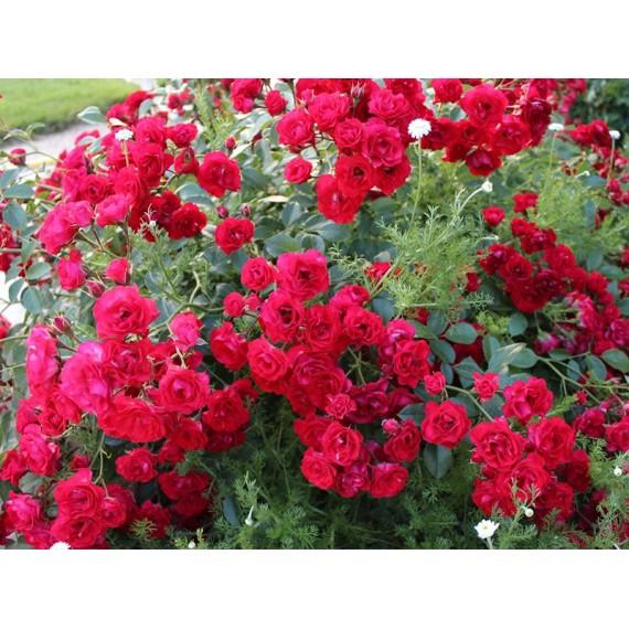 Роза скарлет меяндекор