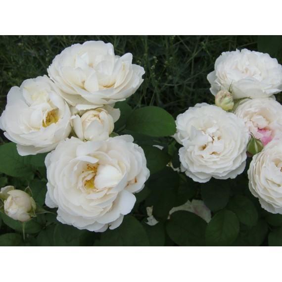 Роза винчестер кефедрол